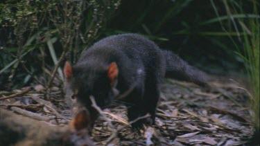 Tasmanian devil gnawing at wallaby carcass Tasmanian devil walks toward camera to carcass