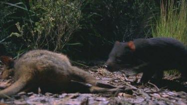 Tasmanian devil drags carcass into bush wallaby carcass Tasmanian devil walks toward camera to carcass