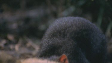 Tasmanian devil gnawing at wallaby carcass licking