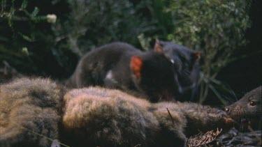 three Tasmanian devils gnawing feeding fighting on wallaby carcass.