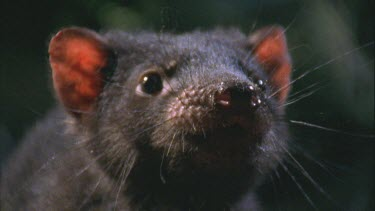 Tasmanian devil over wallaby carcass