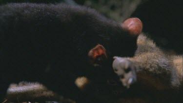 three Tasmanian devil over wallaby carcass