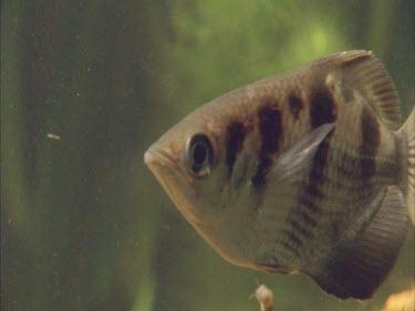 archer fish swimming.