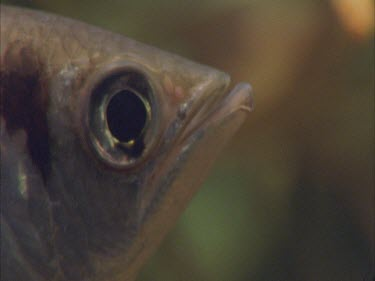 archer fish swimming at surface of water