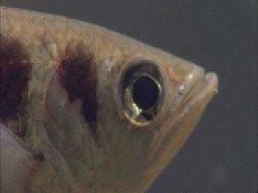 archer fish facing camera, eye, scales, fin