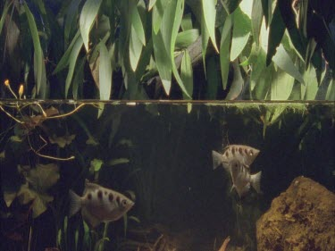 archer fish group swimming under pandanas foliage, water level in view