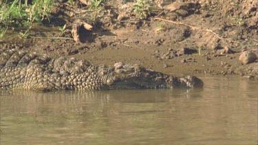 Croc lying on bank, stationary, side profile