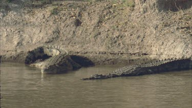 Two Crocs lying on bank, stationary, facing camera. Nice definition of scales on tail and back.