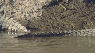 crocodile's tails, pan left to right and back along full length of body as croc lies on bank
