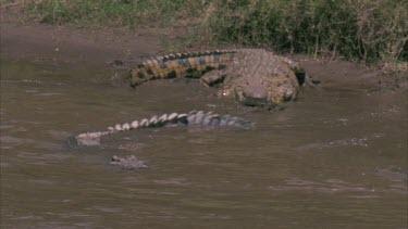 Crocs on river bank, one swim off, head half submerged.