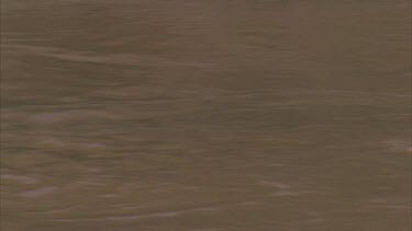 Croc swimming, crocs head half submerged. Croc submerges.