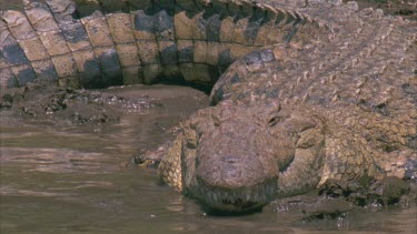 Single large croc lying on bank, head in water, tail curled around body, definition of scales, and armor