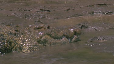 Single large croc coming up onto muddy bank to bask