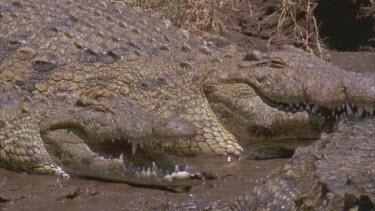 crocs on bank basking, gaping, showing teeth.