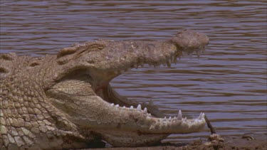 Croc basking on river bank with river in background. Large gape show teeth