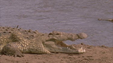 Nile croc mouth agape another floats down river behind