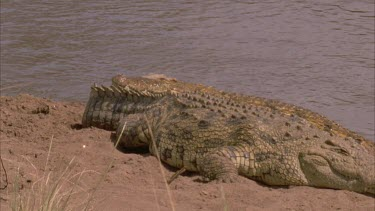 Nile croc mouth agape hauls out onto bank down river behind