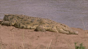 Nile croc mouth asleep wakes with a start then moves into water