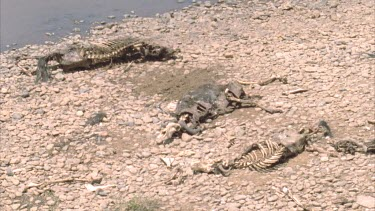 Three wildebeest carcasses lying side by side on the river bank