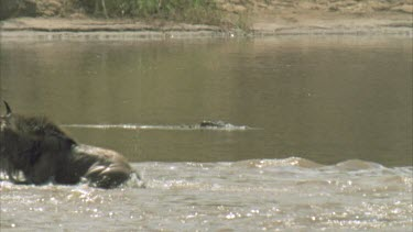 crocodile watching wildebeest crossing Mara river
