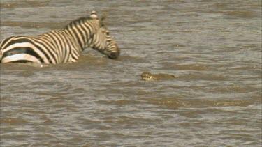 crocodile watching zebra crossing river