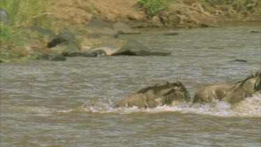 crocodile watching wildebeest exiting river, slow motion