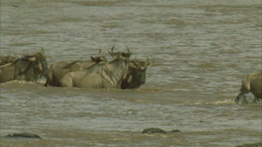 crocodile attempts strike wildebeest but wildebeest gets away and whole herd crosses safely.