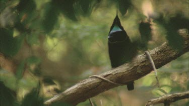 male sits on branch singing displaying