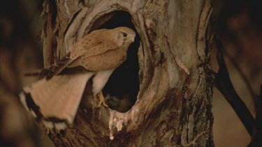 kestrel at hollow entrance feeding young