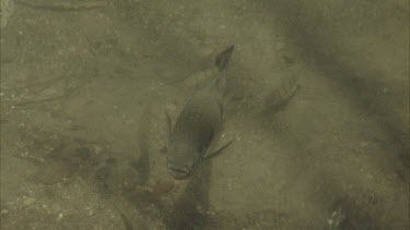 archer fish swimming towards camera and looking up at water surface as if for prey.