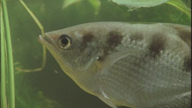 fishes head and specially designed mouth and jaw for spitting