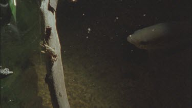 cricket on branch with archer fish in water below