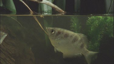 cricket struggles on water surface and fish comes up eats it