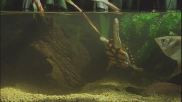cricket struggles in water long necked turtle tries to eat then spits it out