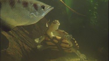 long necked turtle eats cricket