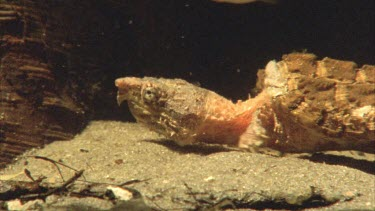 Alligator snapping turtle moving very slowly with neck extended