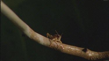 archer fish water bullet knocks grasshopper of branch