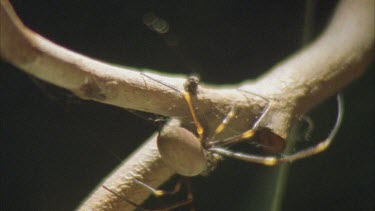 Spider walking along branch is hit three times by accurate archer fish water jet but it manages to hold on