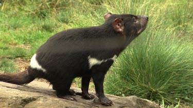 Curious Tasmanian Devil in a grassy field