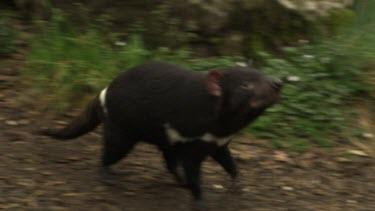 Tasmanian Devil walking on a path through tall grass