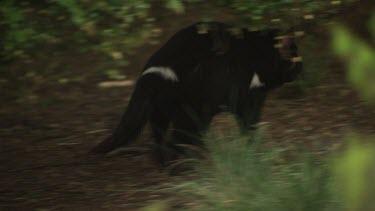 Tasmanian Devil walking on a path through undergrowth