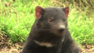 Tasmanian Devil sitting in sunny grass