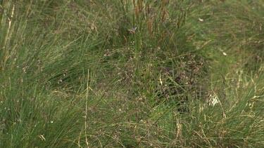 Tasmanian Devil running through grass