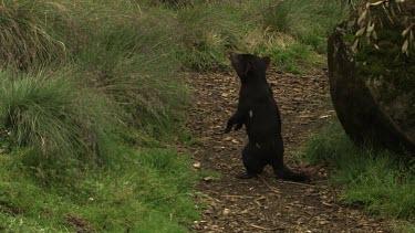 Tasmanian Devil walking on a path through the grass