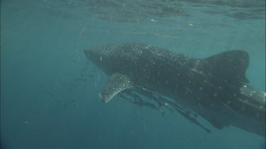 Diver is preparing to tag Whale Shark. He fails to tag the whale shark. Whale Shark escapes from Diver.