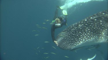 Diver is swimming with Whale Shark at Ningaloo Reef