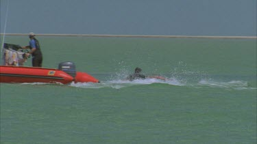 marine scientists on red zodiac inflatable boat , some leap onto dugong in water chase after in shallow water then wrestle it beside boat