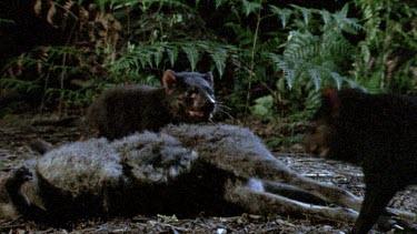 Tasmanian devil at night