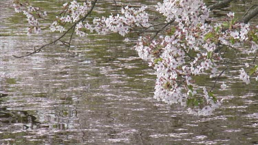 Painterly shot of cherry blossoms dropped onto river.