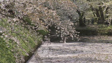 Painterly shot of cherry blossoms dropped onto river. Formal Japanese Garden surroundings.